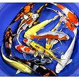 Koi - 20 Live Koi Fish for Pond, Fish Tank or Aquarium | Lot of 20 Standard Fin Grade AAA Quality Koi (6-8 inch)