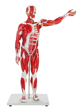 Axis Scientific Muscular System Replica with 27 Removable Anatomical ...