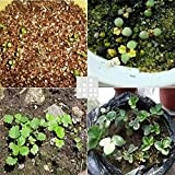 IDH 1 Pack 100 PCS Strawberry Seeds Nutritious Delicious Fruit Vegetables Plant Seed (Light Blue)