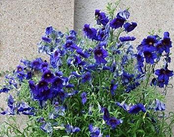 Amazon.com: Llavero de flores azules de SALPIGLOSSIS con más ...