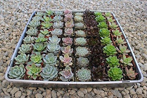 - Jiimz 40 Succulent Rosette Collection