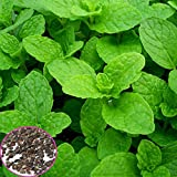 Loveble 1000Pcs Mint(Peppermint) Herb Perennial Flower Seeds Indoors or Outdoor Plants