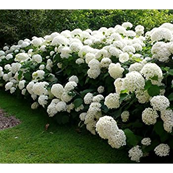 Amazon.com : Annabelle Smooth Hydrangea - Live Plant - Quart Pot ...