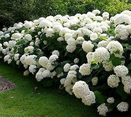Amazon Annabelle Smooth Hydrangea