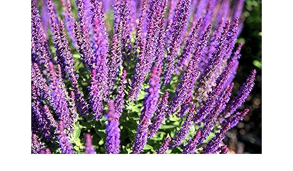 Sabio del bosque - flores de color azul violeta; Clary ...