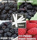 Organic Bulk 3 Blackberry Seeds Survival Seeds 600 Seeds Upc 646263360996 + 4 Plant Markers Natchez Triple Crown