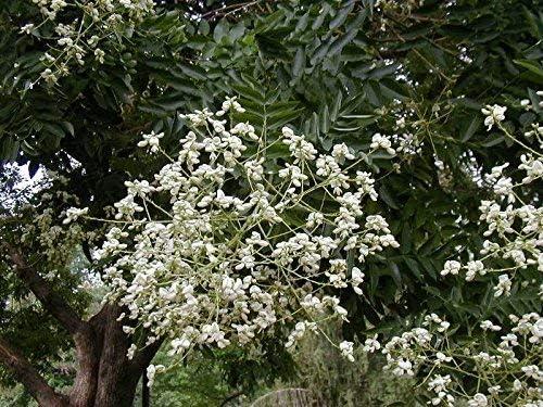 Pagoda japonesa, Sophora japónica, 30 semillas de árboles (Rápido, vistosas, fragantes, Bonsai): Amazon.es: Jardín