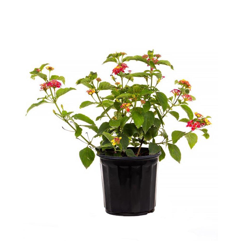 AMPLEX Confetti Lantana Live Plant, 1 Gallon, Multicolor