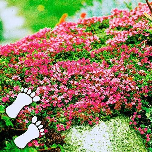 TOMASA Seedhouse- 100 pcs Tomillo de escalada, Cobertura del suelo Flor Arena Tomillo Flores perfumadas Planta Semilla resistente Flores perennes Apta para el jardín de su casa, jardín de rocas: Amazon.es: Jardín