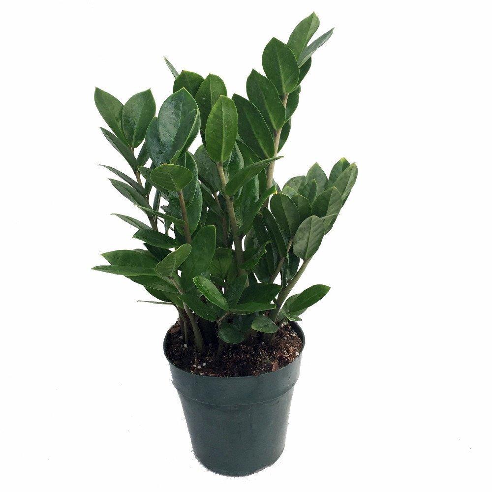 Rare ZZ Plant - Zamioculcas zamiifolia - Hardy House Plant - 6'' Pot by Hirt's Gardens
