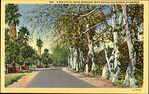 A Beautiful Drive Bordered With Native California Sycamores Trees Original Vintage Postcard (Tree Bordered)