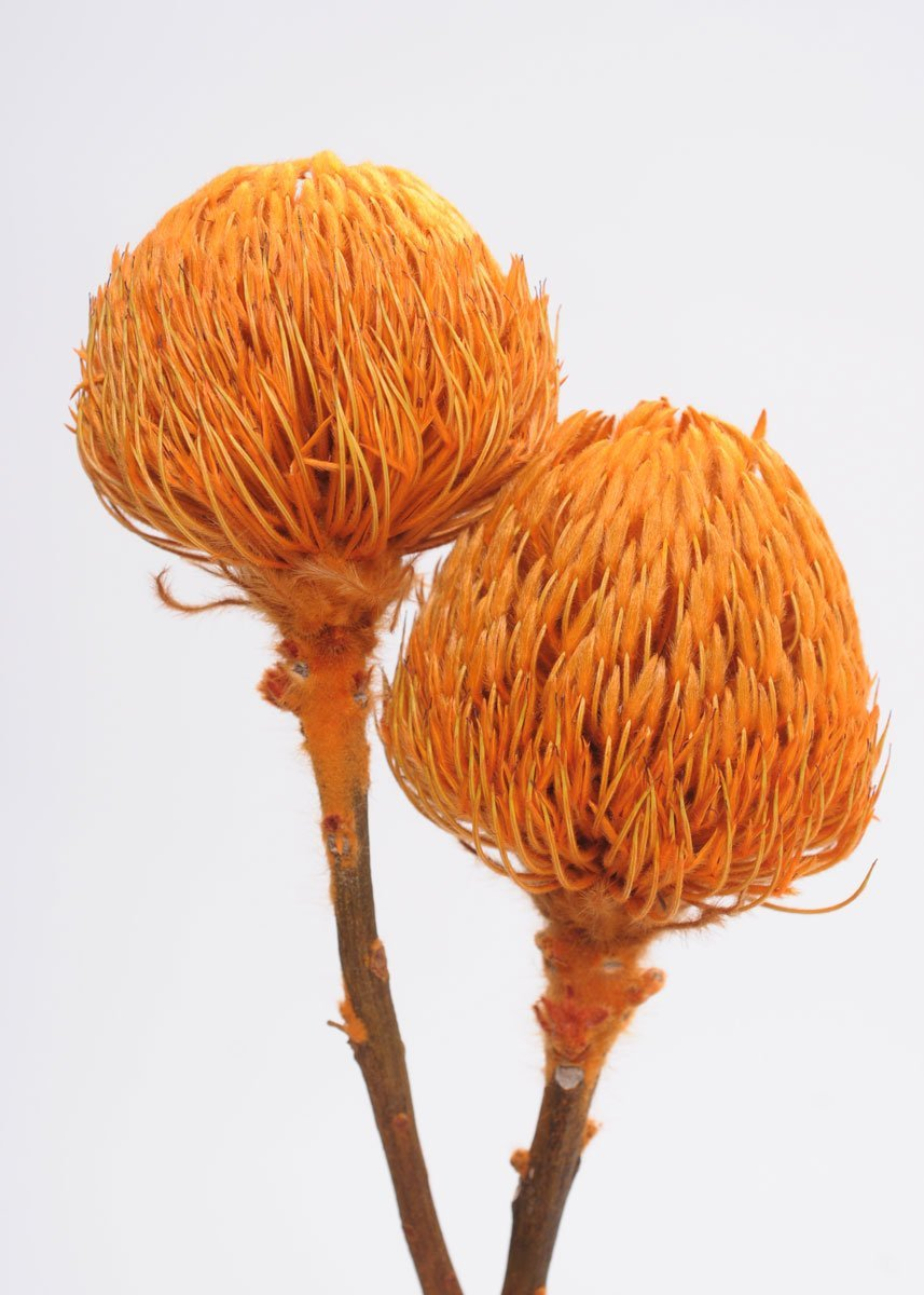 Afloral-Schusters-of-Texas-SCH-Dried-Banksia-Protea-Pod-Bunch-in-Orange-12-18-Tall