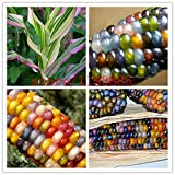 20pcs/bag corn seeds Authentic Glass Gem Indian Corn Seeds Heirloom, Rainbow, Non-GMO vegetable seeds for home garden planting
