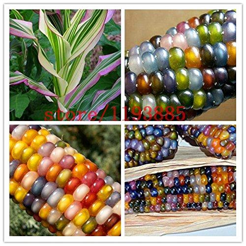 indian corn seeds - 5