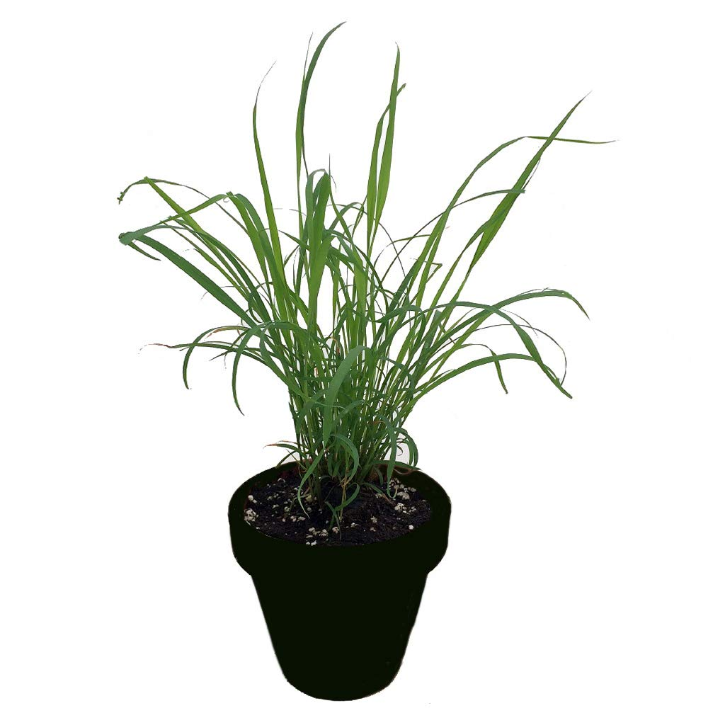 AMERICAN PLANT EXCHANGE Lemon Grass Fragrant, Medicinal Herb Live, 1 Gallon, Natural Mosquito Repellent