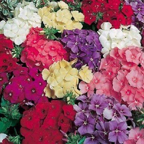 30+ Fragrant Phlox Drummondii Flower Seeds Mix / Re-seeding Annual