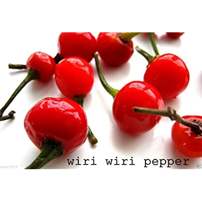 Wiri Wiri Pepper (25 Seeds ) Very Hard to Find - C. Frutescens - From Guyana : Garden & Outdoor