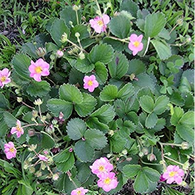 100+ Seeds of Pink Flowering Strawberry Mix. Beautiful Pink Flowers with Delicious Fruit : Garden & Outdoor