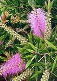 TROPICA - Albany Bottlebrush - pink (Callistemon speciosus) - 100 Seeds - Australia