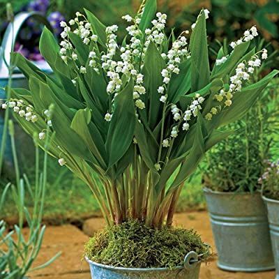 15 Giant Bordeaux Lily of the Valley pips/plants