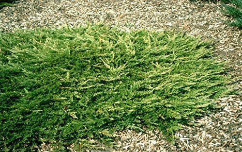 Creeping Juniper - Prince of Wales - 30 Live Plants in 4'' Containers - Evergreen Groundcover by Florida Foliage (Image #5)