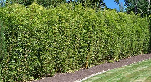 Alphonse Karr Bamboo Clumping Non Invasive Privacy Hedge by Florida Foliage (Image #3)