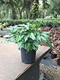PlantVine Philodendron 'Xanadu' - Extra Large - 12-14 Inch Pot (7 Gallon), Live Indoor Plant