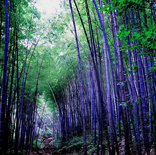 Loss Promotion! 60 Pieces Seeds Rare Purple Bamboo Seeds Decorative Garden Lucky Bamboo Garden Plants Seeds ()