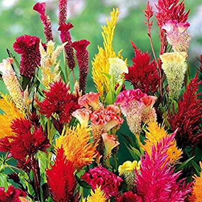 wpOP59NE 10/30/50Pcs Mix Color Celosia Crested Cockscomb Seeds Garden Flower Yard Decor - 50pcs Cockscomb Seeds Plant Seeds : Garden & Outdoor