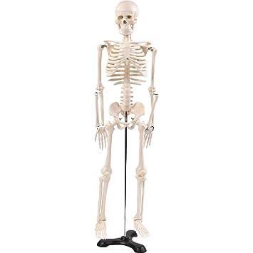"""Anatomie Modell """"Menschliches Skelett"""",mittel, ca. 85 cm, geeignet ..."""