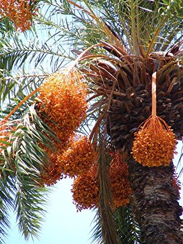 100 Silver Date Palm seedlings Phoenix sylvestris Cold Hardy Landscape Palm Tree ()