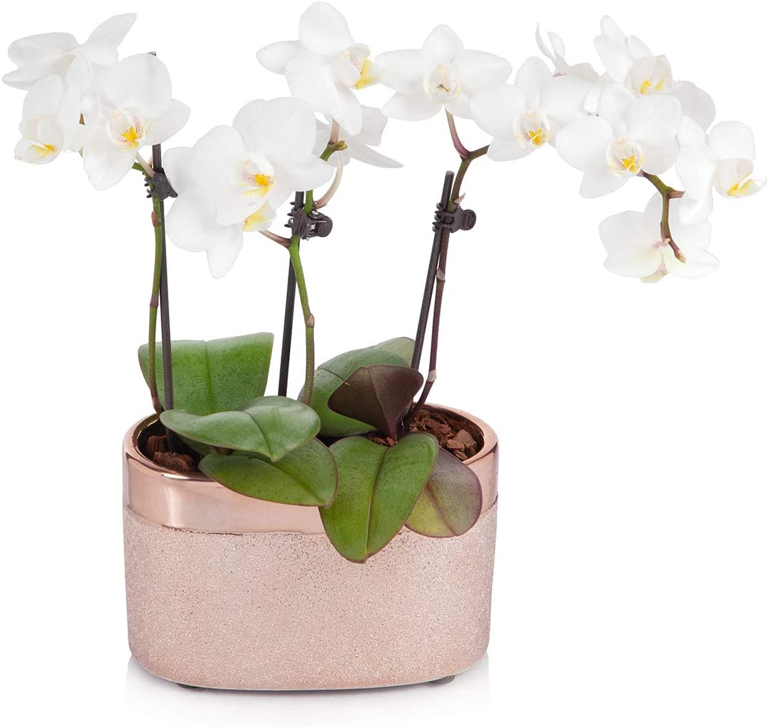 Amazon Com Just Add Ice White Mini Orchid Planter In Rose Gold
