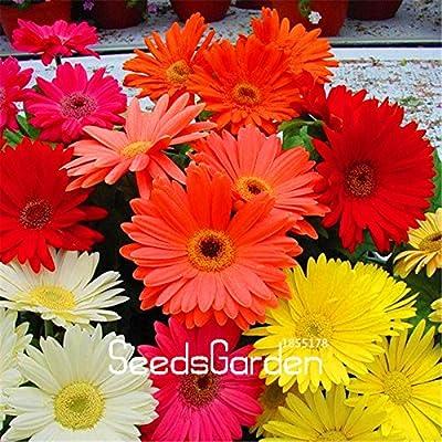 100 Seeds/Lot New Arrival!Gerbera Daisy Hybrids Mix Flower Seeds Bonsai plants easy to grow Seeds for home & garden : Garden & Outdoor