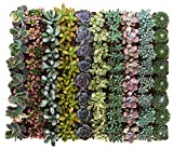 Shop Succulents| Premium Pastel Collection of LiveSucculent Plants, Hand Selected Variety Pack of Mini Succulents | Collection of 140 in 2'' pots