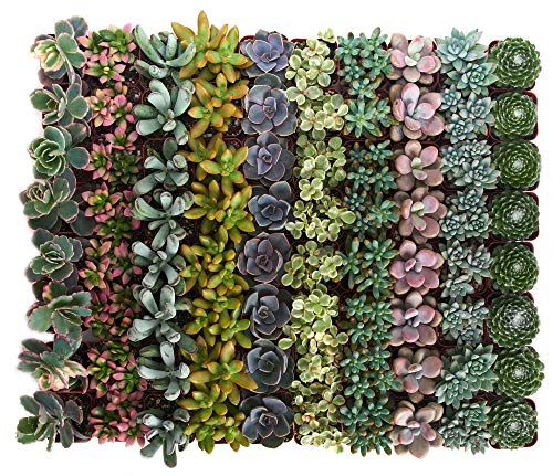 Shop Succulents | Premium Pastel Collection of Live Succulent Plants, Hand Selected Variety Pack of Mini Succulents | Collection of 100]()
