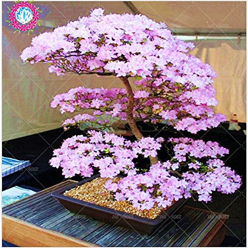 Bonsai Tree Japanese Sakura Seeds Rare Japanese Cherry Blossoms Flowers Seeds In Bonsai Pink Prunus Serrulata 10 Seeds Buy Online In Switzerland At Switzerland Desertcart Com Productid 59663250