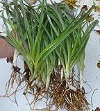"10 Spiderwort Plants 14""~16"" Houseplant Purple Tradescantia Garden perennial GTA"