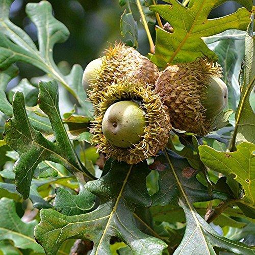 - Bur Oak Tree Seeds (Quercus macrocarpa) 2+ Fresh, Organic Bur Oak Tree Seeds, Harvested in September of 2017