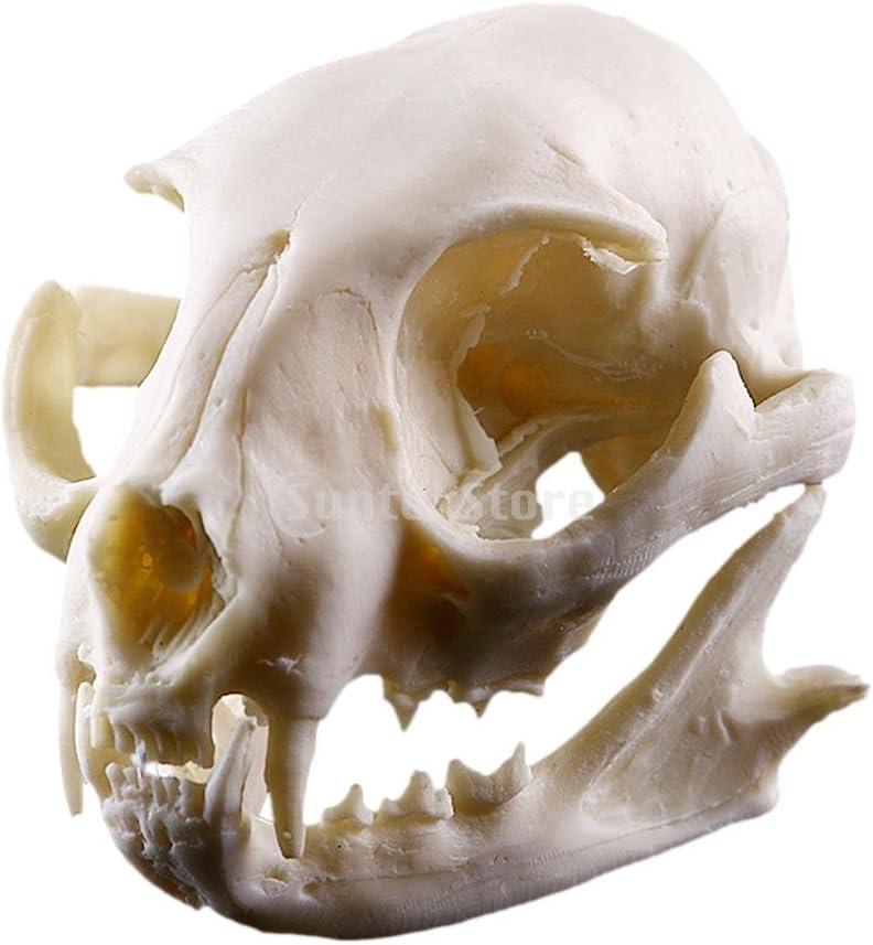 Cat skull model resin skull.