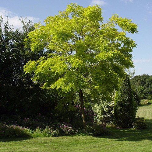 (Black Locust Tree Seeds (Robinia pseudoacacia) 40+Seeds )