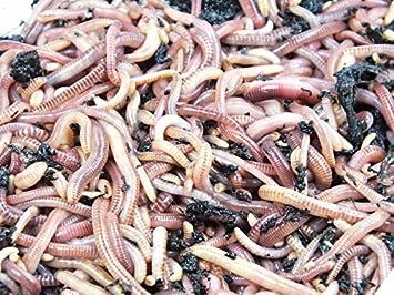 Compost gusanos Dream Team de gusano Comercio – para el compost – Muy activa Mist gusanos