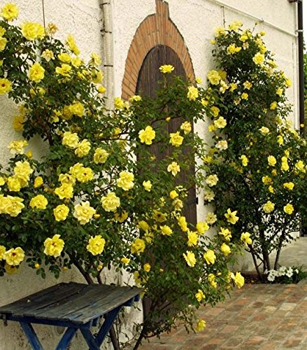 Beautiful Yellow 'Golden Showers' Climbing Rose (Bare Root)