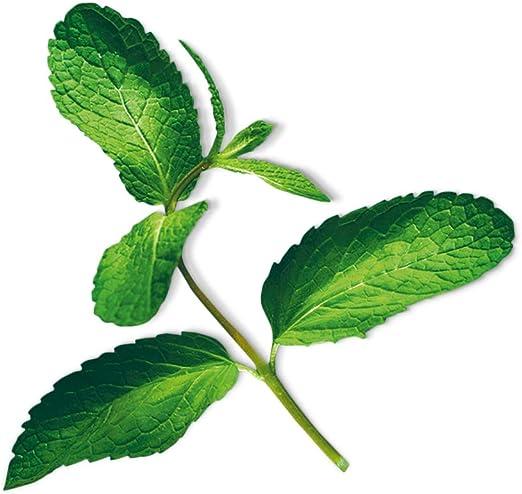PLANTUI 6430054272698 Menta Recarga 3 Pieza(s) - Kits de Cultivo y repuestos (Planta Comestible, Menta, Recarga, De Crecimiento Lento (8-12 semanas), 10 día(s), 1.18 Mes(es)): Amazon.es: Jardín