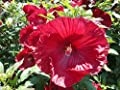 20+ Cranberry Blush Hardy Hibiscus Seeds