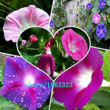 500 seeds /bag Flower seeds imported TM climbing lianas