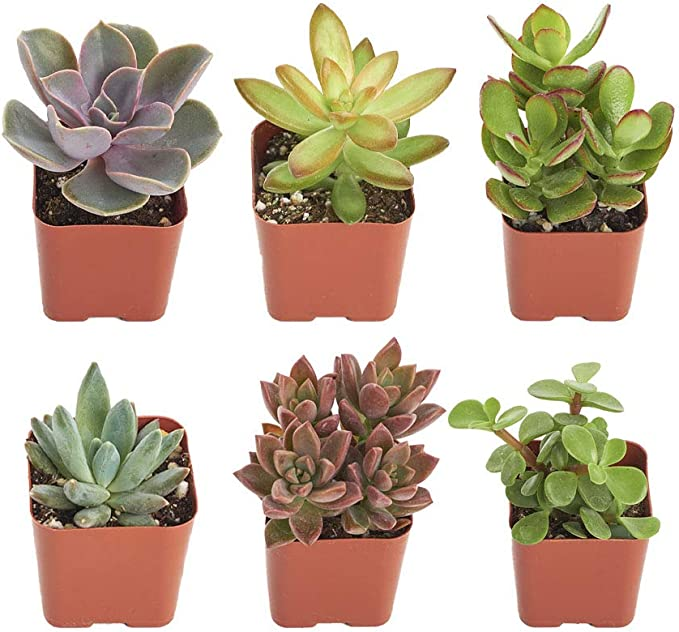 Shop Succulents | Unique Collection | Assortment of Hand Selected, Fully Rooted Live Indoor Succulent Plants, 6-Pack B