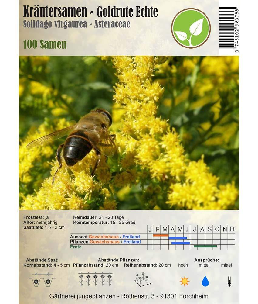 Verga d/'oro comune//Solidago virgaurea 100 Semi Semi di erbe