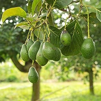 Avocado Tree 3L pot 1M talll
