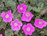 Erodium x 'Bishop's Form' Heron's Bill