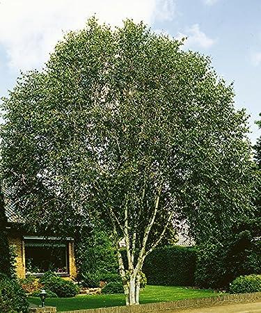 Himalaya Birke starkl himalaja birke 1 stk betula utilis jaquemontii amazon de